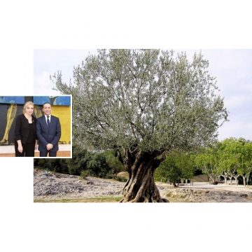 L'olivier un arbre mondial